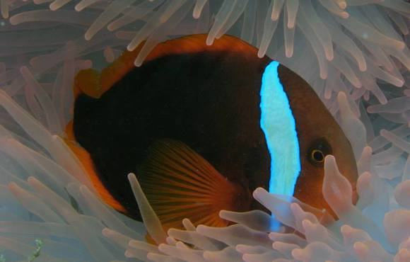 clown_fish_cebu