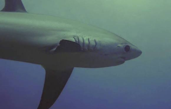 malapascua_thresher_shark