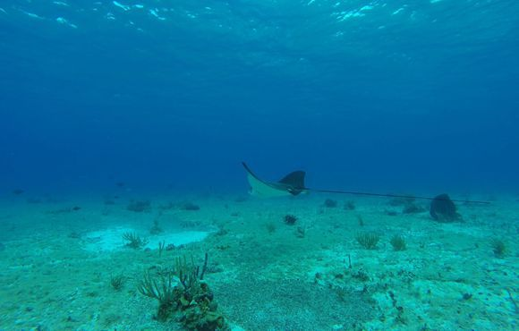 eagle_ray_cozumel