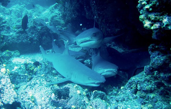 White_tipped_Reef_sharks