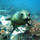 Sea_lion_galapagos