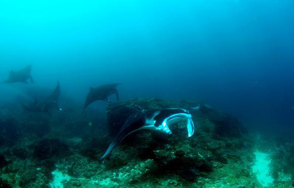 Manta_Ray_Awareness_Speciality_