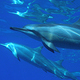 Dolphins_In_Palau