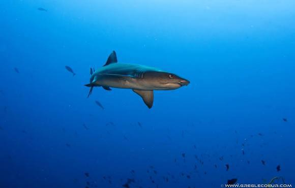 reef_shark_phillipines