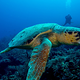 turtle_black_bird_caye_resort_belize