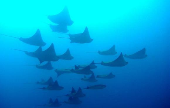 devil_rays_galapagos