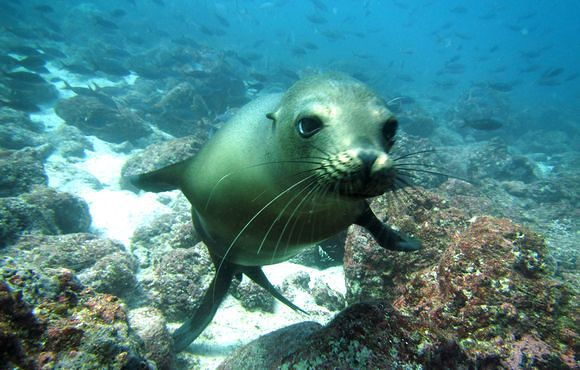 galapagos_sea_lion_