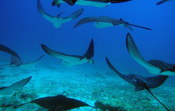 spotted_eagle_rays_galapagos