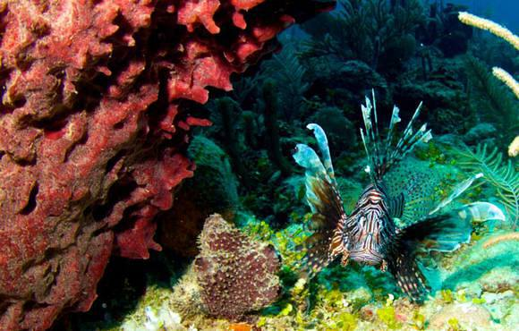 lionfish_belize