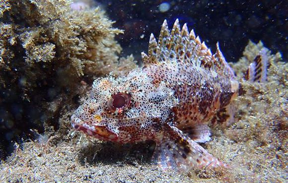 scorpion_fish_madeira