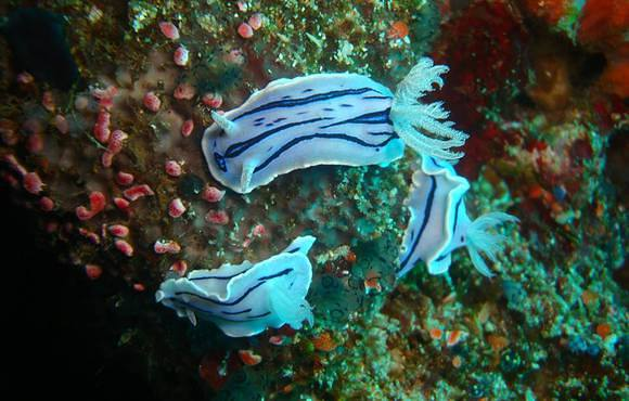 purple_nudibranch