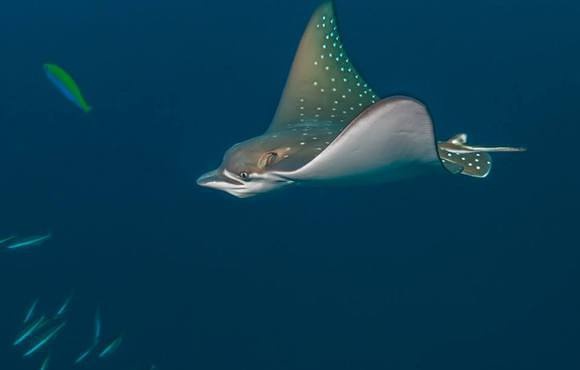 eagle_ray_maldives