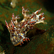 nudibranch_malapascua