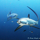 thresher_shark_malapascua