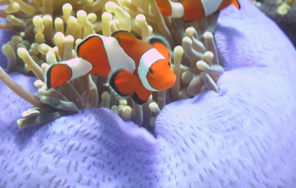 clown_fish_indonesia