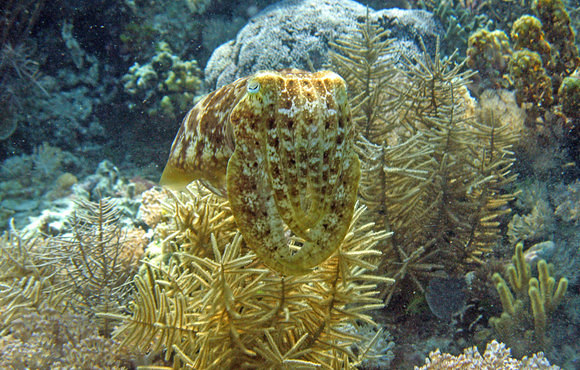 cttle_fish_camouflage