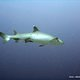 white_tip_reef_shark_indonesia