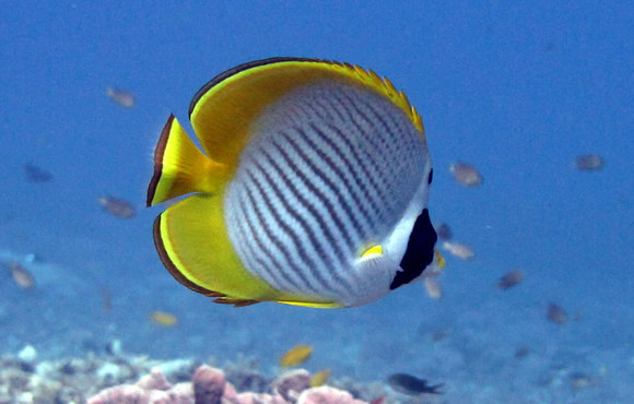 yellow_reef_fish