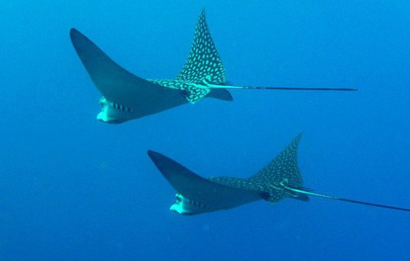underwaterlife_eagle_rays