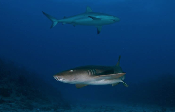 st_maarten_reef_sharks