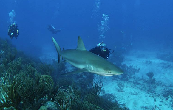 shark_dive_st_maarten