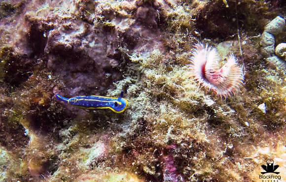 blue_nudibranch_