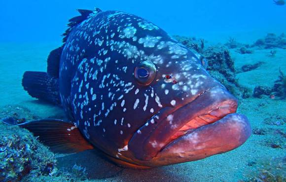 grouper_lanzarote_spain
