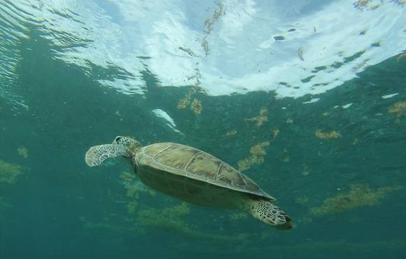 belize_turtle