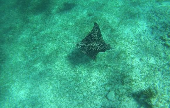eagle_ray_belize