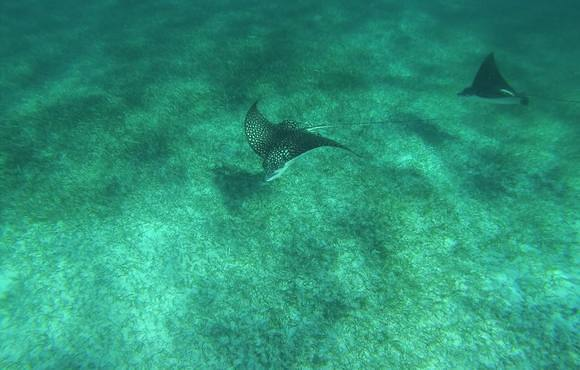 eagle_rays_belize