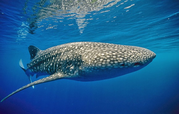 whale_shark_cancun