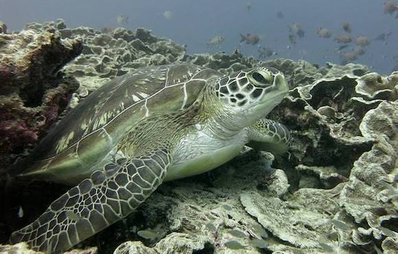 green_turtle_on_plate_corals_Wattabomi