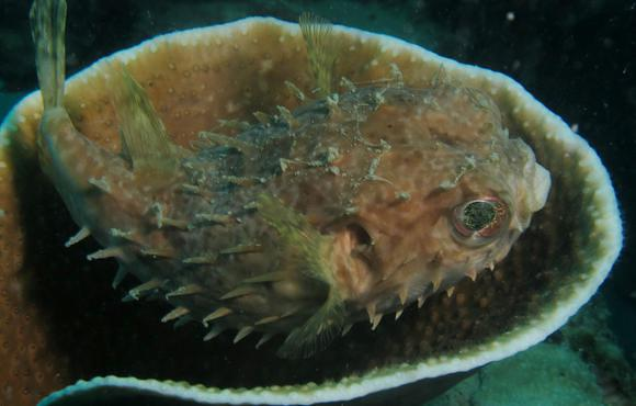 Porcupinefish_hiding_in_coral_on_Ghost_Town