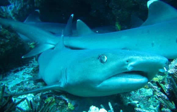 white_tip_reef_shark_galapagos