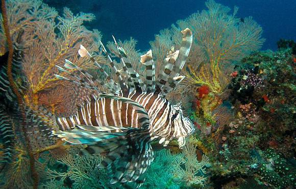 lionfish_in_coral