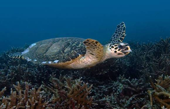 turtle_swimming_over_coral_reef