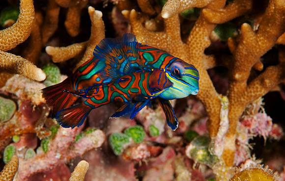 Mandarin_fish_couple