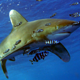 _oceanic_white_tip_shark_red_sea