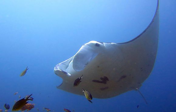 Manta_ray_at_Makassar_Reef_