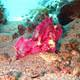 Purple_Leaf_Scorpionfish