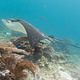Eagle_Ray___at_Labuan_Bajo__Flores