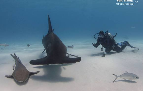 great_hammerhead_shark_bimini