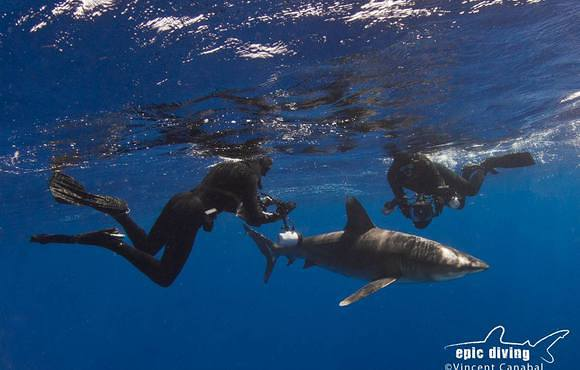 oceanic_white_tip_dive