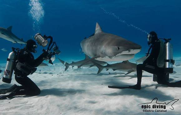 bahama_tiger_shark_cat_island