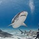 bahamas_tiger_shark_dive