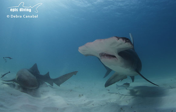 hammerhead_and_nurse_shark_bahamas