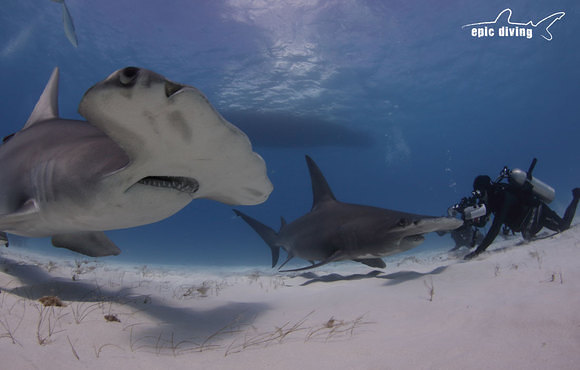 hammerhead_shark_close_up
