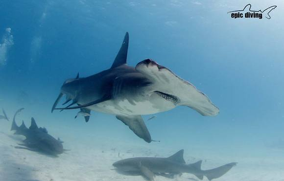 hammerhead_shark_epic_diving
