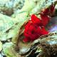 red_frogfish_Mozambique