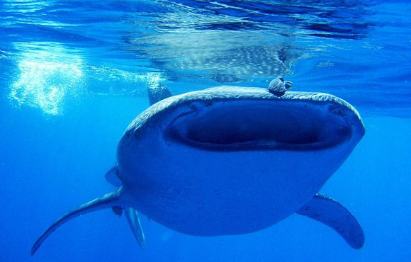 whaleshark_Mozambique